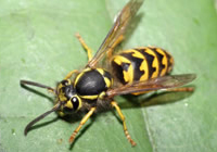 queen wasp size Latin Name  Vespula   Queen Wasp Size